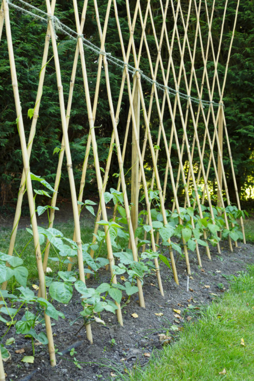 runner beans growing up cane supports