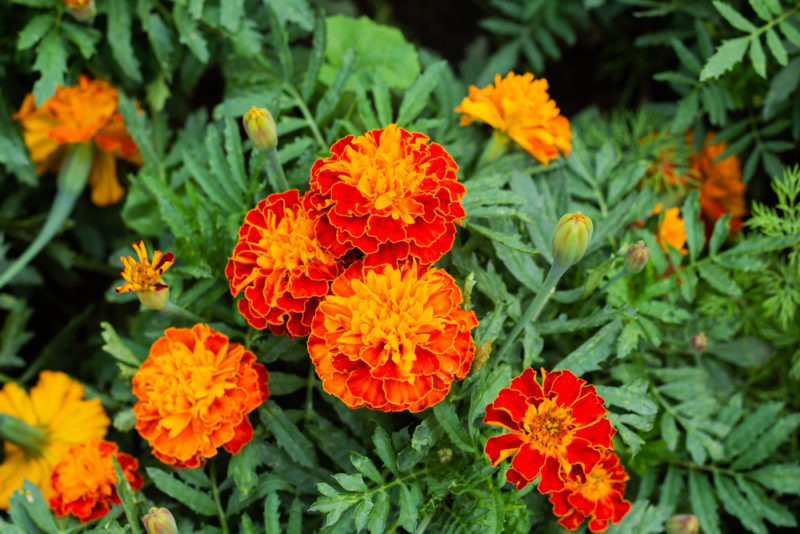 which plants repel mosquitoes? Marigolds blooming in a flower bed