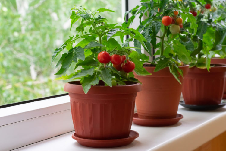 how to grow tomatoes in pots on a windowsill