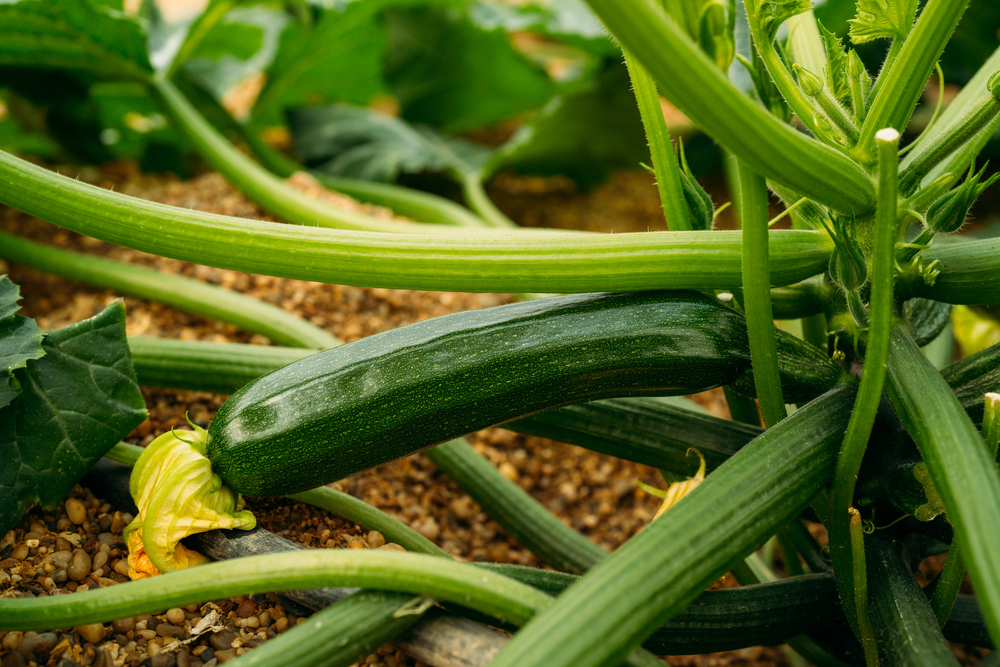 how to start growing your own vegetables, like courgette