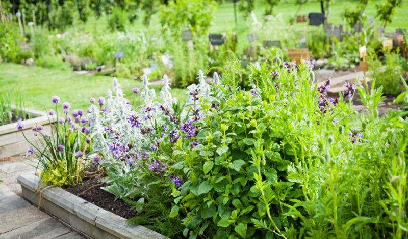 a herb garden with catnip and other vegetation