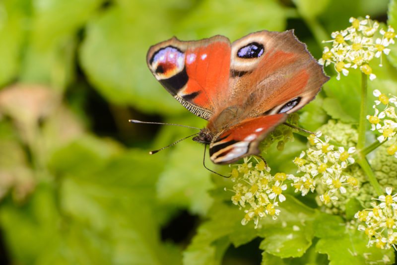 a peacock butterfly with open wings sitting on cow parsley flowers