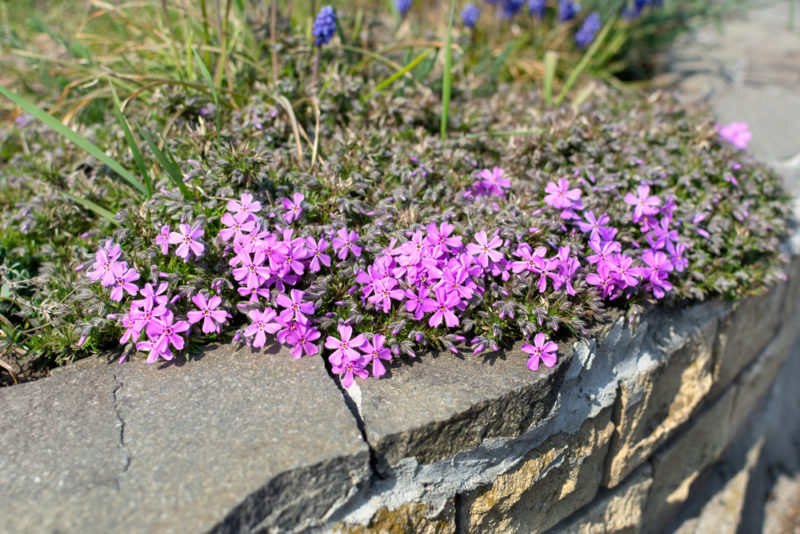 pink phlox flowers at the edge of a concrete planter