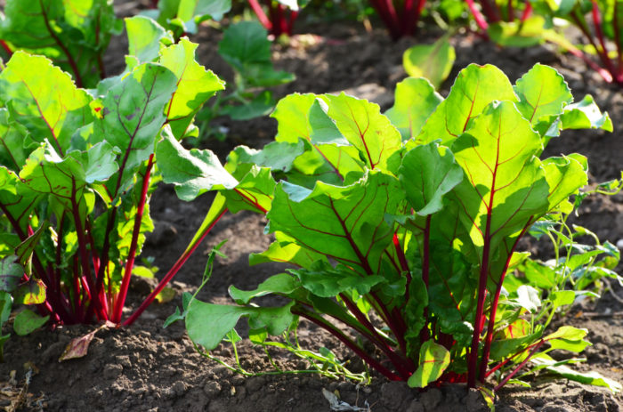 beetroot plants sprouting in a garden
