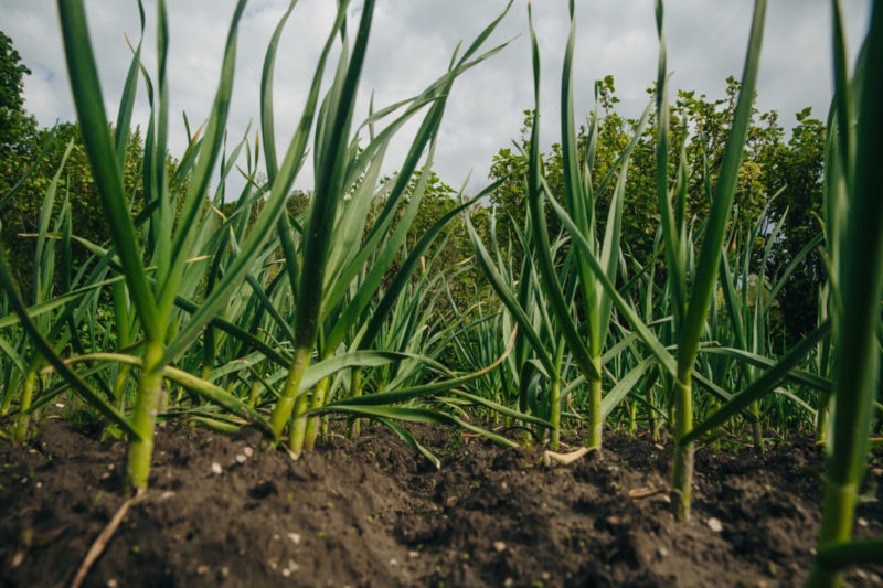 rows of neatly planted garlic for a kitchen garden