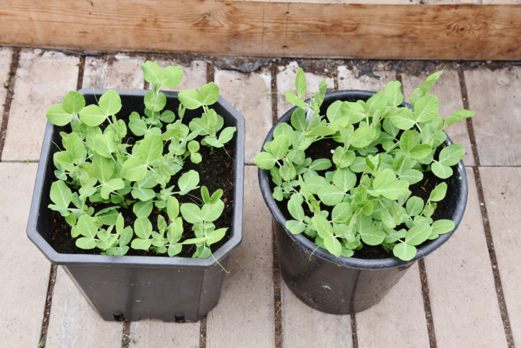 plastic containers with pea plant seedlings