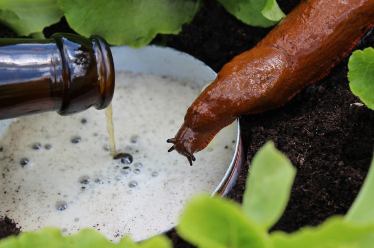ways to keep snails off of your garden include beer traps