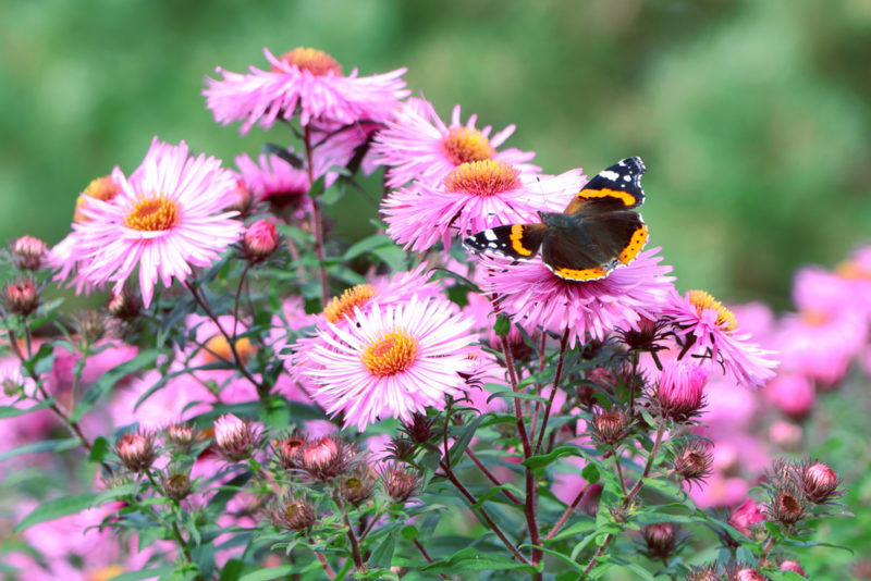 asters are great plants for attracting butterflies