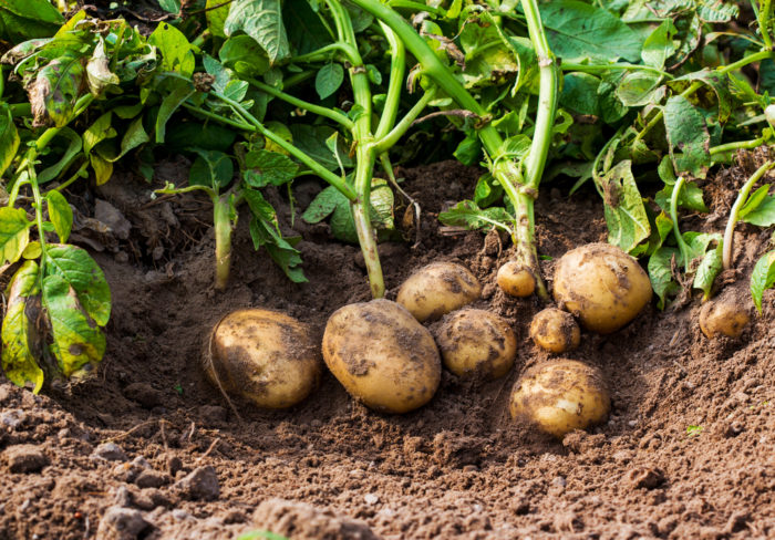 clusters of muddy potatoes, pulled straight from the ground