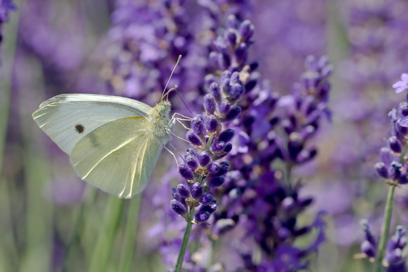 close up of lavender with a pale butterfly drinking nectar
