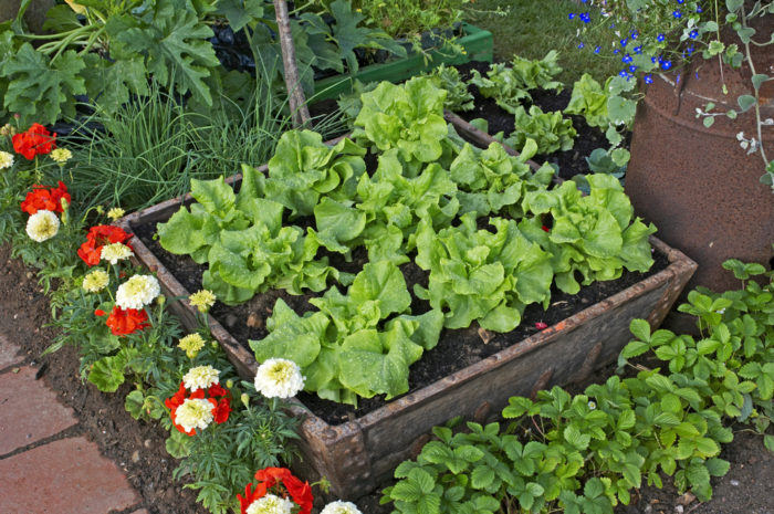a container of lettuce plants in a garden