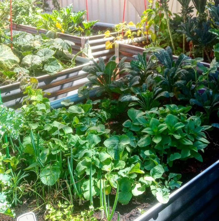 raised container beds made from corrugated metal, with a variety of companion plants growing inside