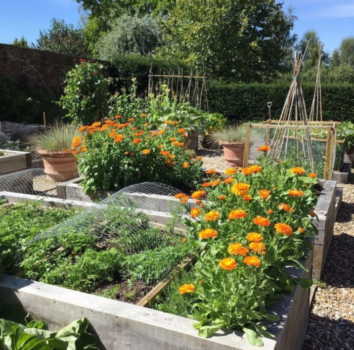 a busy kitchen garden with marigolds and other companion plants growing together
