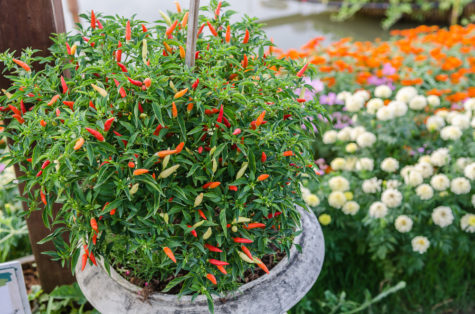 a guide to show you how to grow chilli peppers in your garden