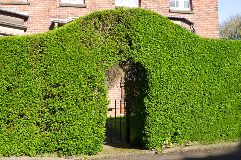 a privet hedge, shaped into an archway over a gate