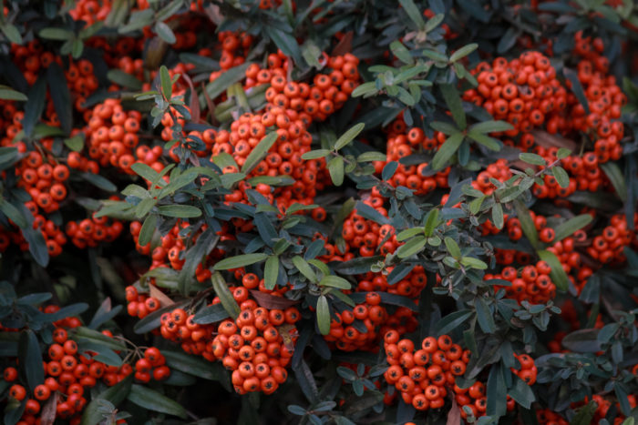 the fiery red berries of a pyracantha hedge