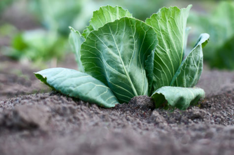 a small head of cabbage forming in soil