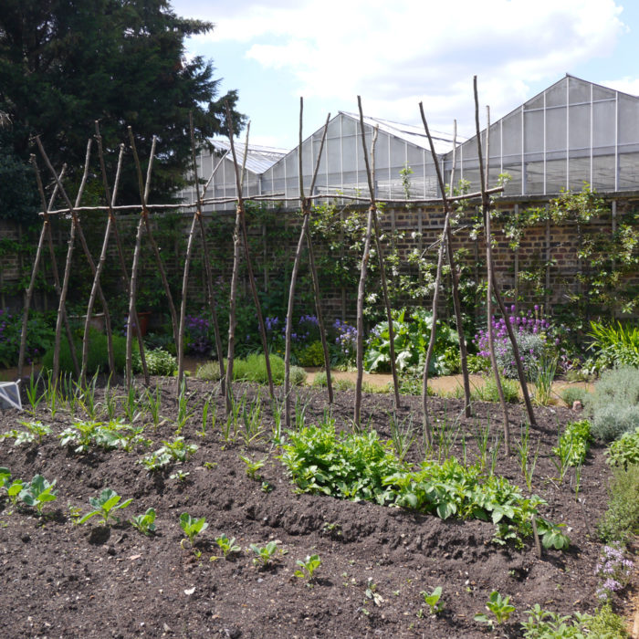 learn how to grow green beans up a trellis or bamboo wigwam for the best crop yield