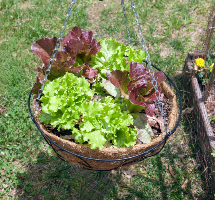 several small lettuces with green and purple foliage growing in a hanging basket