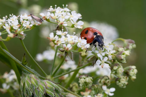 A ladybird insect on white cow parsley