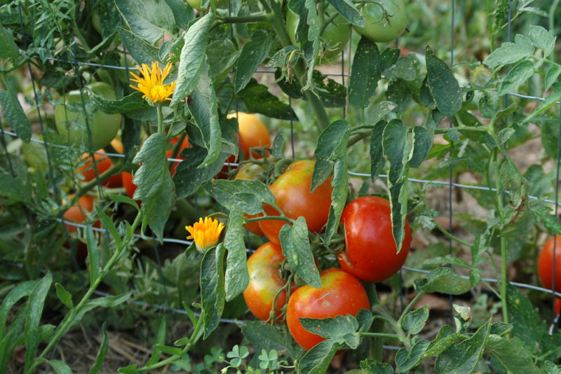 companion planting involves understanding which vegetables can be grown together, like tomatoes and French marigolds