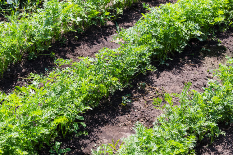 rows of leafy carrot tips poking out of vegetable patch soil