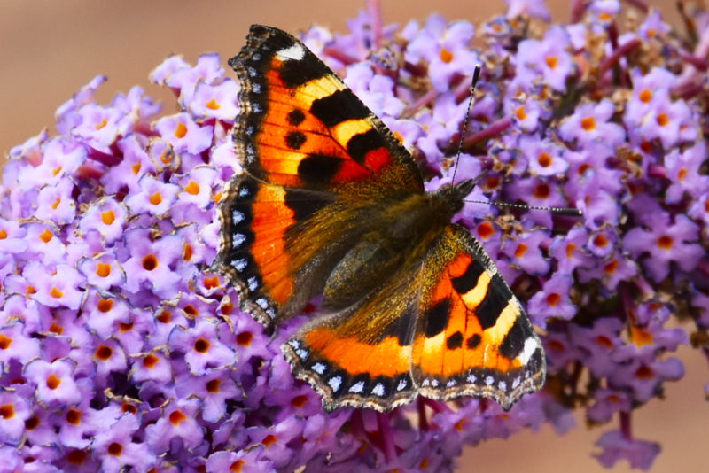 a tortoiseshell butterfly with open wings resting on a buddleja flower