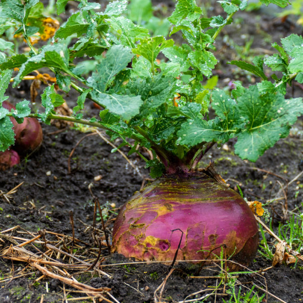 a close up of a swede poking out the top of the soil