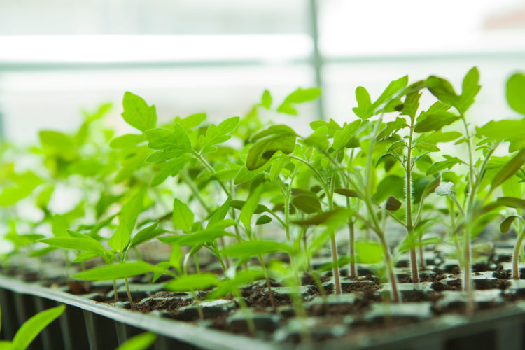 how to grow tomatoes in seedling trays before planting them outdoors