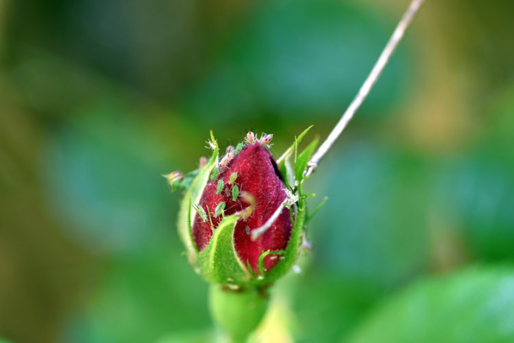 a group of aphids on a rose bud