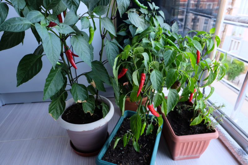 large chilli pepper plants growing in planters