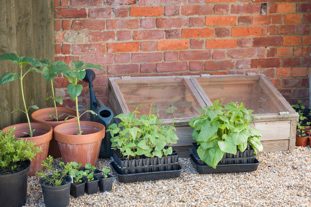green beans and other vegetables in containers outside, next to a cold-frame unit