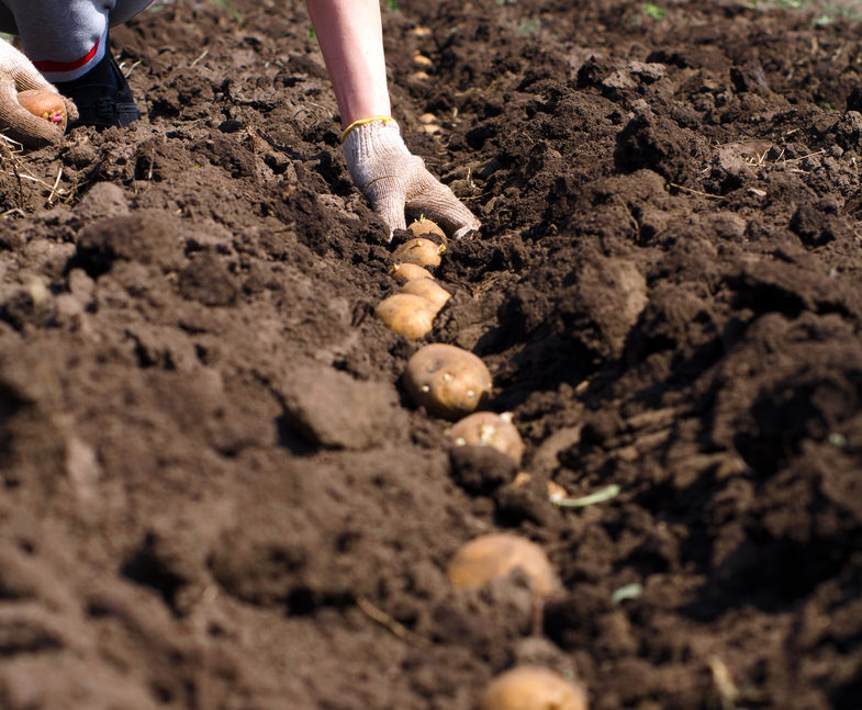 a row of seed potatoes being planted in soil