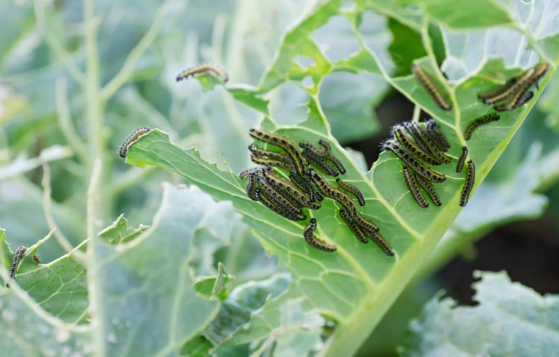 a close-up of caterpillars chomping through a cabbage leaf
