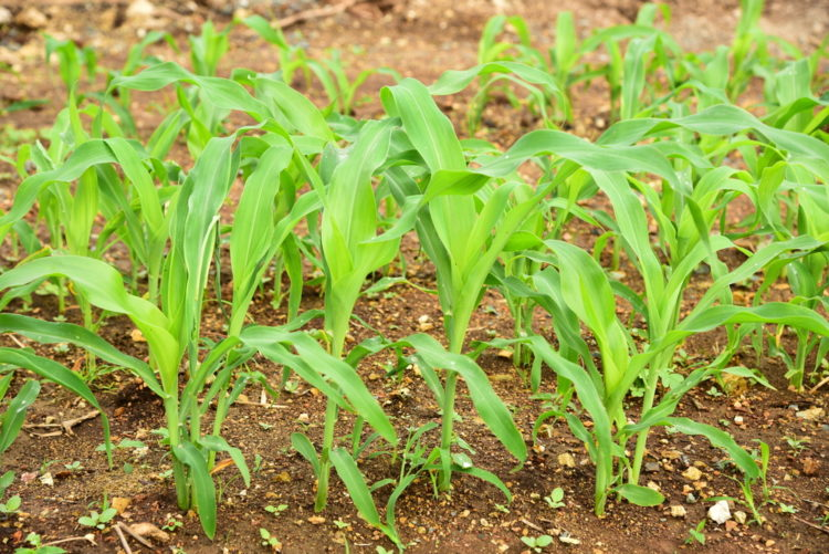 young sweetcorn stems, showing how to grow sweetcorn in your garden