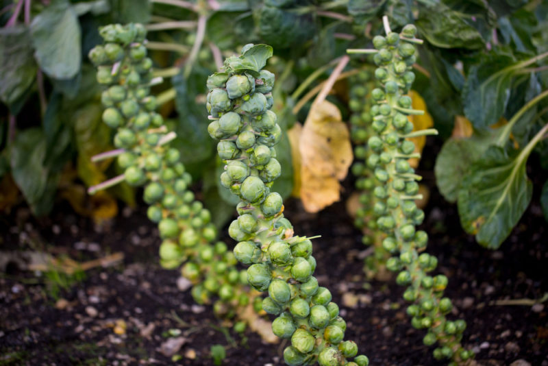 brussel sprouts are one of the best vegetables to grow in shade