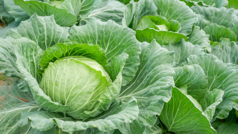 a head of cabbage with thick, unfurling leaves