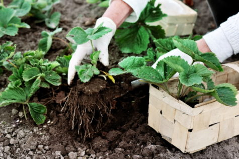 how to grow strawberries, taking young plants from a box and putting them into the ground