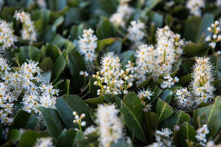 a close up of pale cherry laurel flowers