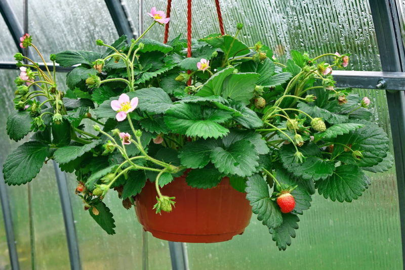 strawberries growing out of a hanging pot in a greenhouse