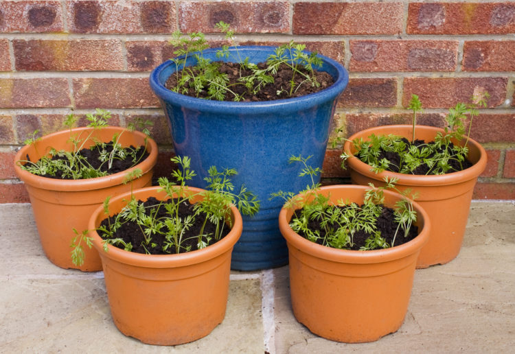 five large garden planters with carrots growing inside