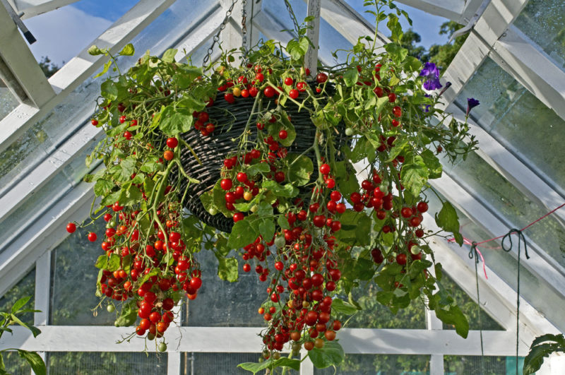 you can grow vegetables in hanging baskets, like this huge tomato plant with lots of trailing fruit