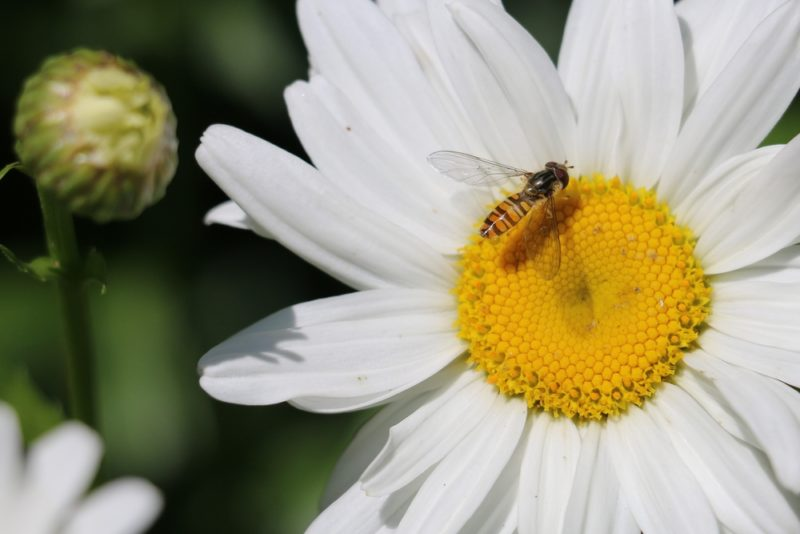 a tiny hoverfly on a large flower with a yellow centre and white petals