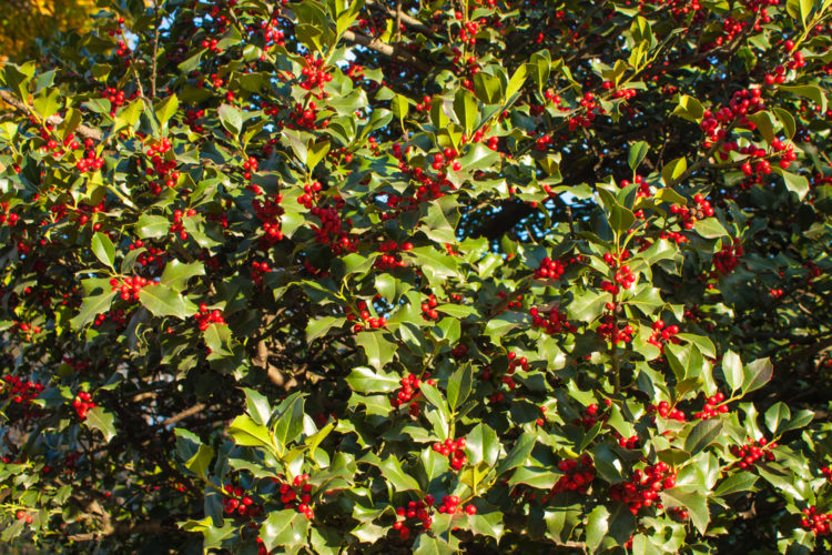a thick holly bush with red berries