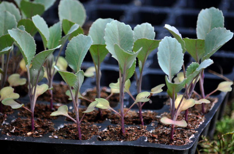 how to grow cabbage in your garden from seedlings in a potting tray