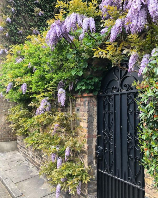 the rear wall of a garden with wisteria growing along the top, up to a wrought-iron gate