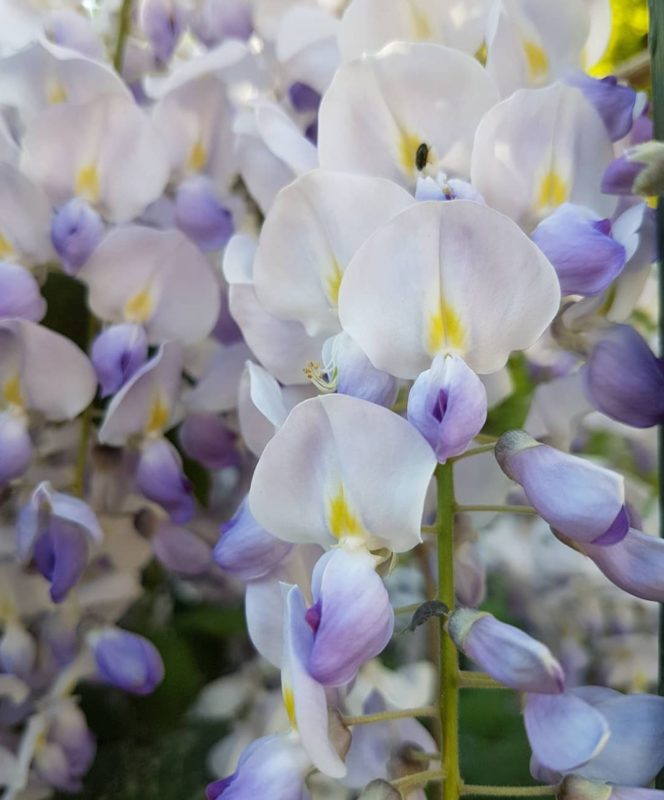 a close-up of the delicate white and purple flowers that wisteria devotees adore