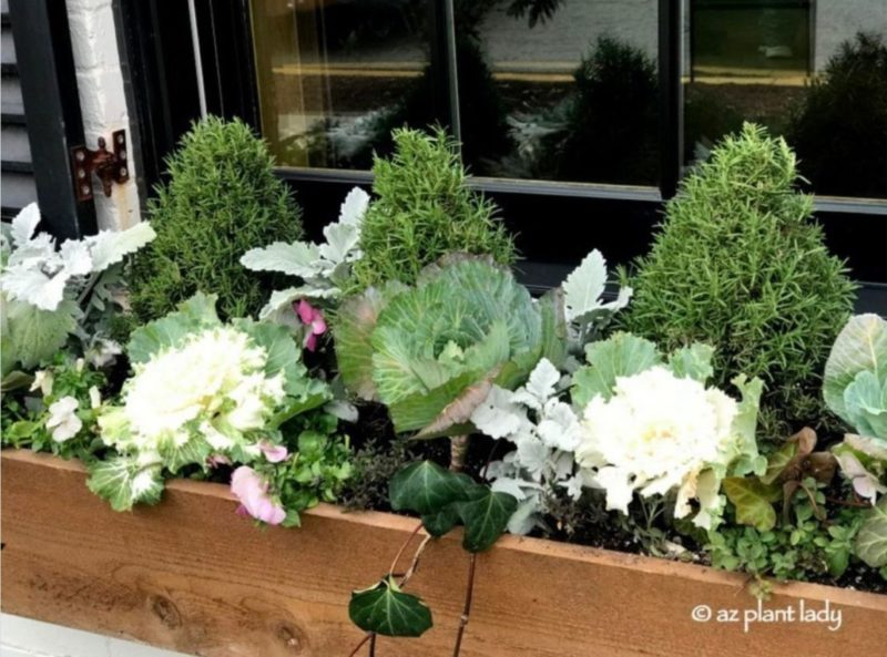 a window box filled with cabbages that look like giant flowers