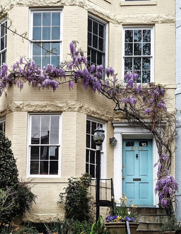 an arching wisteria vine climbs across the front of a cream house