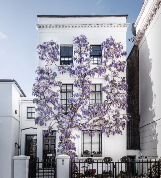 A beautiful wisteria plant on the front of a house in Kensington, London